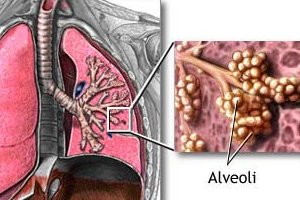 ozone concentrations affect the alveoli