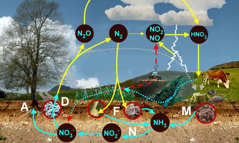 Круговорот азота: А